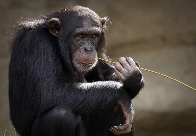 chimpanzee-trekking-1