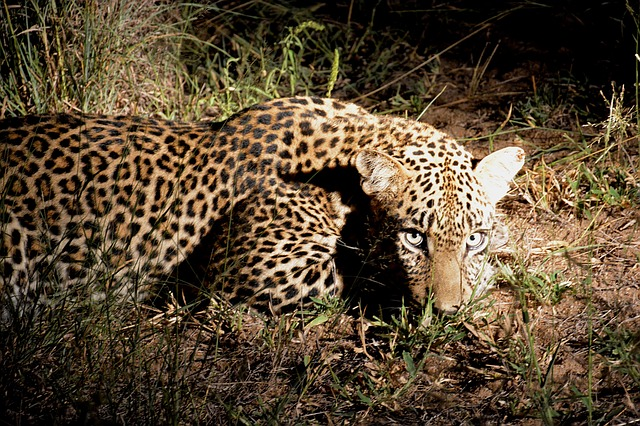 leopard-night-1074375_640