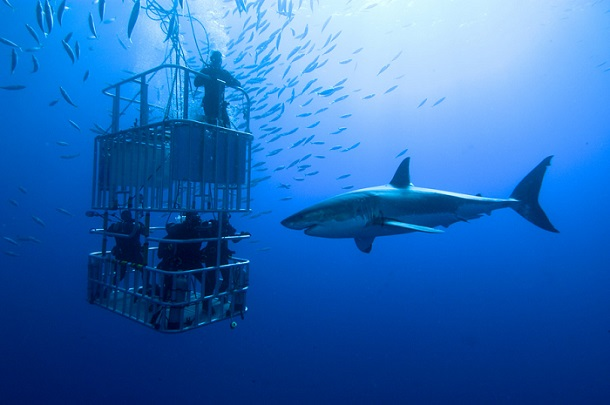 white-shark-cage-diving