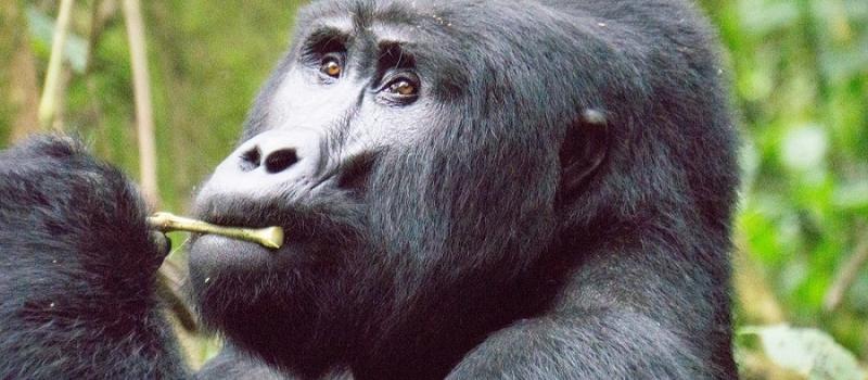 gorilla-resized